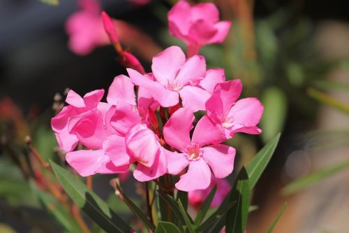 Oleander Is a Deadly Plant, Not a COVID-19 Cure